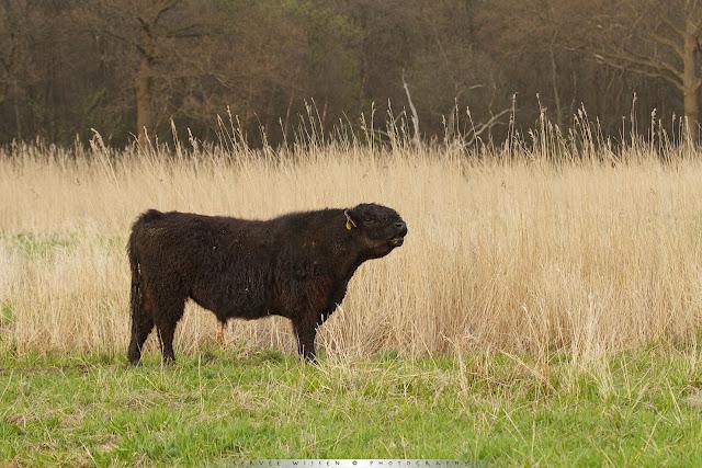 Galloway Runderen houden het gras kort