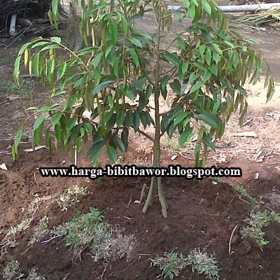 Cara Menanam Bibit Durian