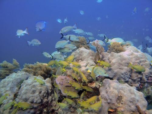 Corais do Caribe sobrevivem às mudanças climáticas