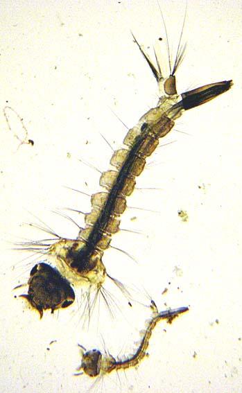 Mosquito larva in pond - photo#11