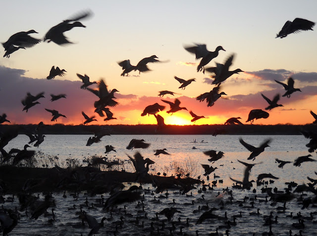 Mallard Ducks taking off into the sunset at Sunset Bay, White Rock Lake, Dallas, TX