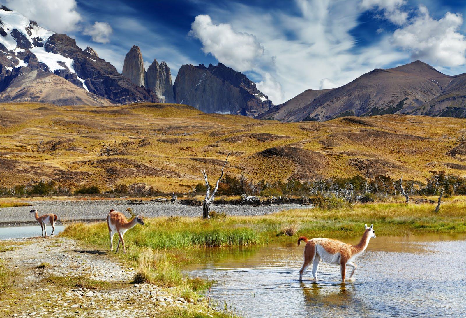 patagonia chile llamas alpacas vicu as and guanacos. Black Bedroom Furniture Sets. Home Design Ideas