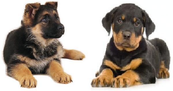 Rottweiler German Shepherd Mix Puppies