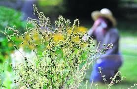 пыльца - причина аллергии