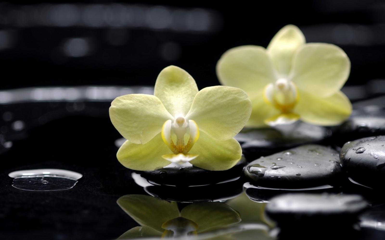 Yellow Phalaenopsis Orchids