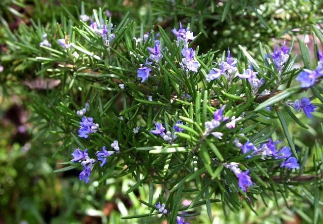 cây hương thảo có tác dụng chống muỗi