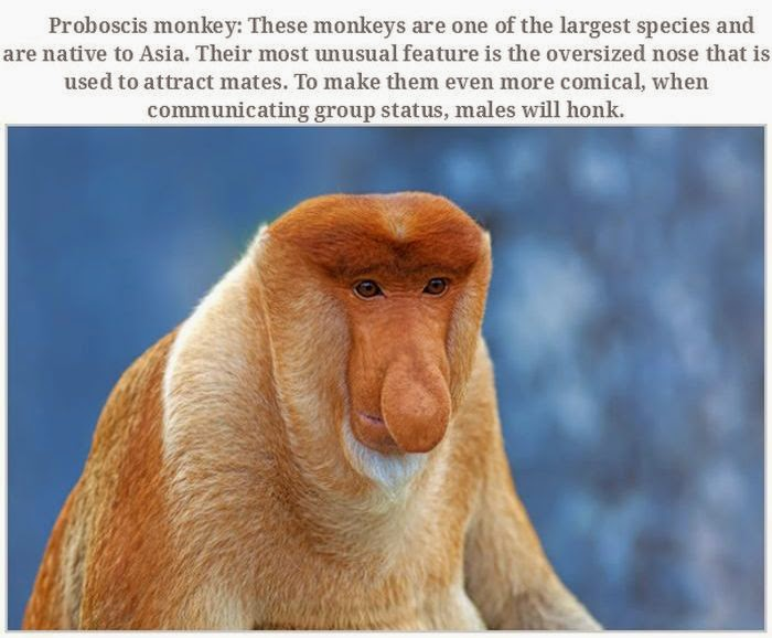 Weird animals (20 pics), strange animal pictures, proboscis monkey