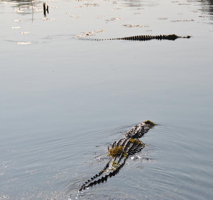 carolina gators