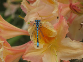 Blue dragonfly on an orange flower at Castle Howard