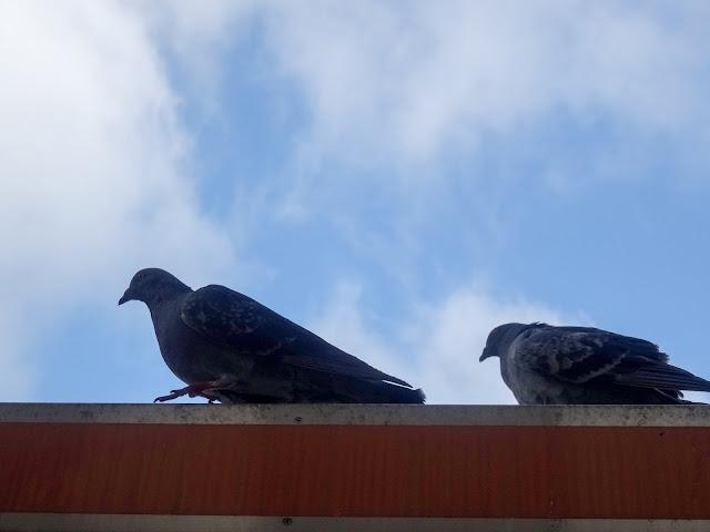 鳩,鳥,渋谷駅前〈著作権フリー無料画像〉Free Stock Photos