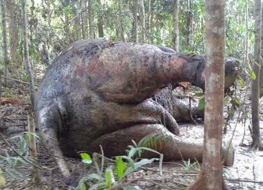 Gajah Mati Tanpa Kepala