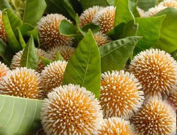 flowers of bangladesh kodom