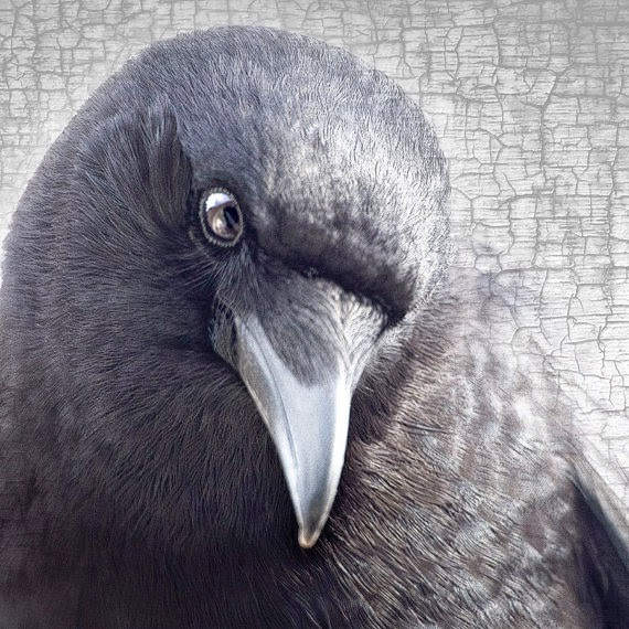 http://www.junehunter.com/collections/crow-portrait-series-fine-art-photo-prints/products/crow-portrait-series-winsome-fine-art-print