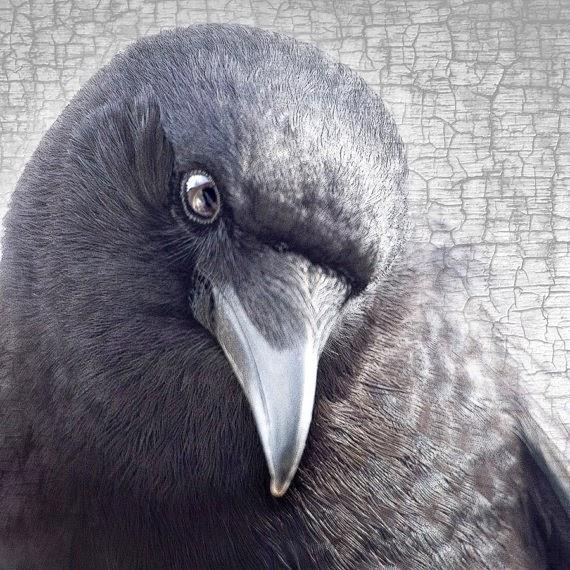 http://www.junehunter.com/collections/crow-portrait-series-fine-art-photo-prints/products/crow-portrait-series-winsome-fine-art-print