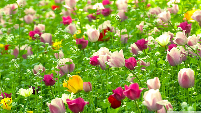 Ảnh đẹp cuộc sống: Bộ hình nền đẹp về cánh đồng hoa Tulip 5