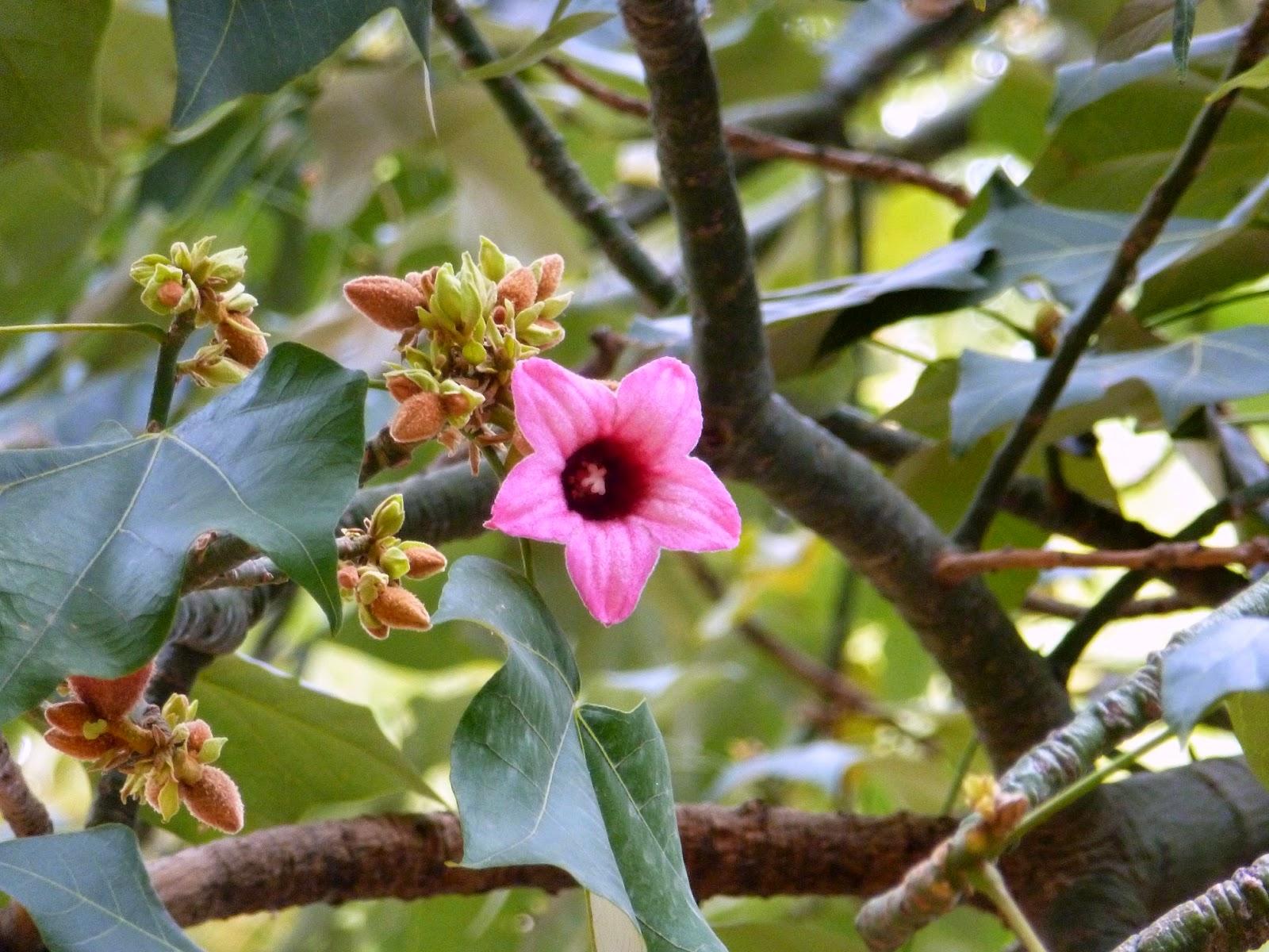 Rboles con alma arbol botella rosa brachychiton discolor - Arbol de rosas ...