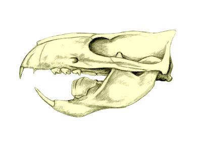 Ptilodus skull