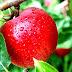 Manfaat Buah Apel Untuk Kesehatan, Kecantikan, Diet, dan Ibu Hamil