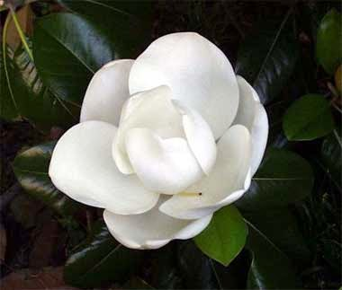 http://www.statesymbolsusa.org/Louisiana/flower_magnolia.html