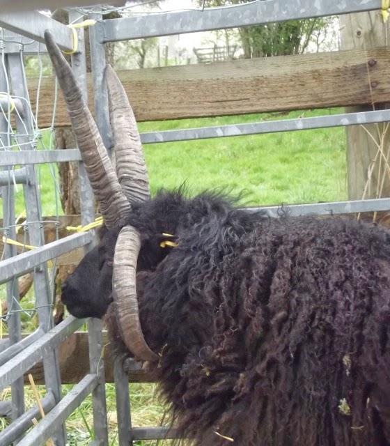 Jacob's ram