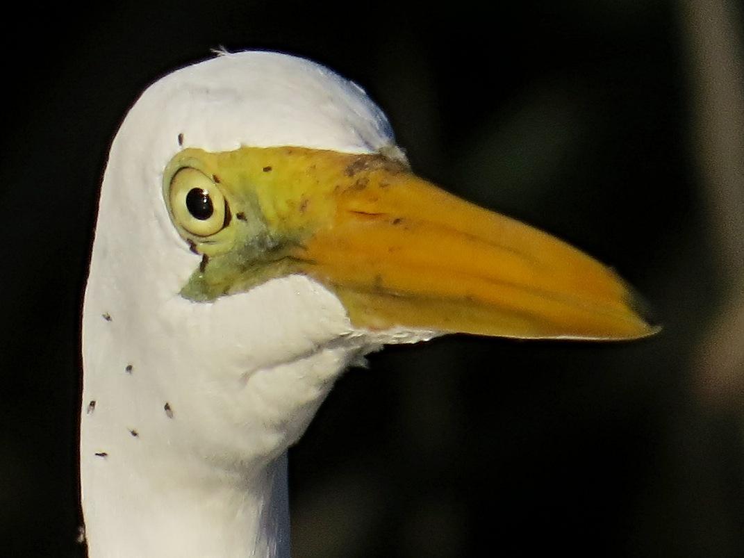 Egreta alba