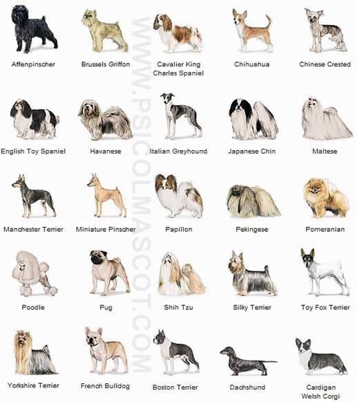 Miniature Toy Dog Breeds : Perritos com razas caninas