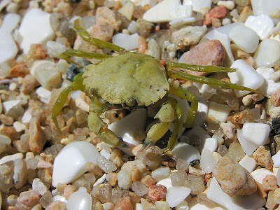 Greeb Crab