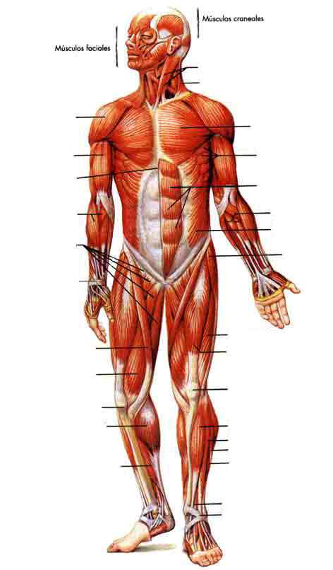 Curso Comic Americano Temporada 2011: Tarea 3 de Anatomia: musculos ...