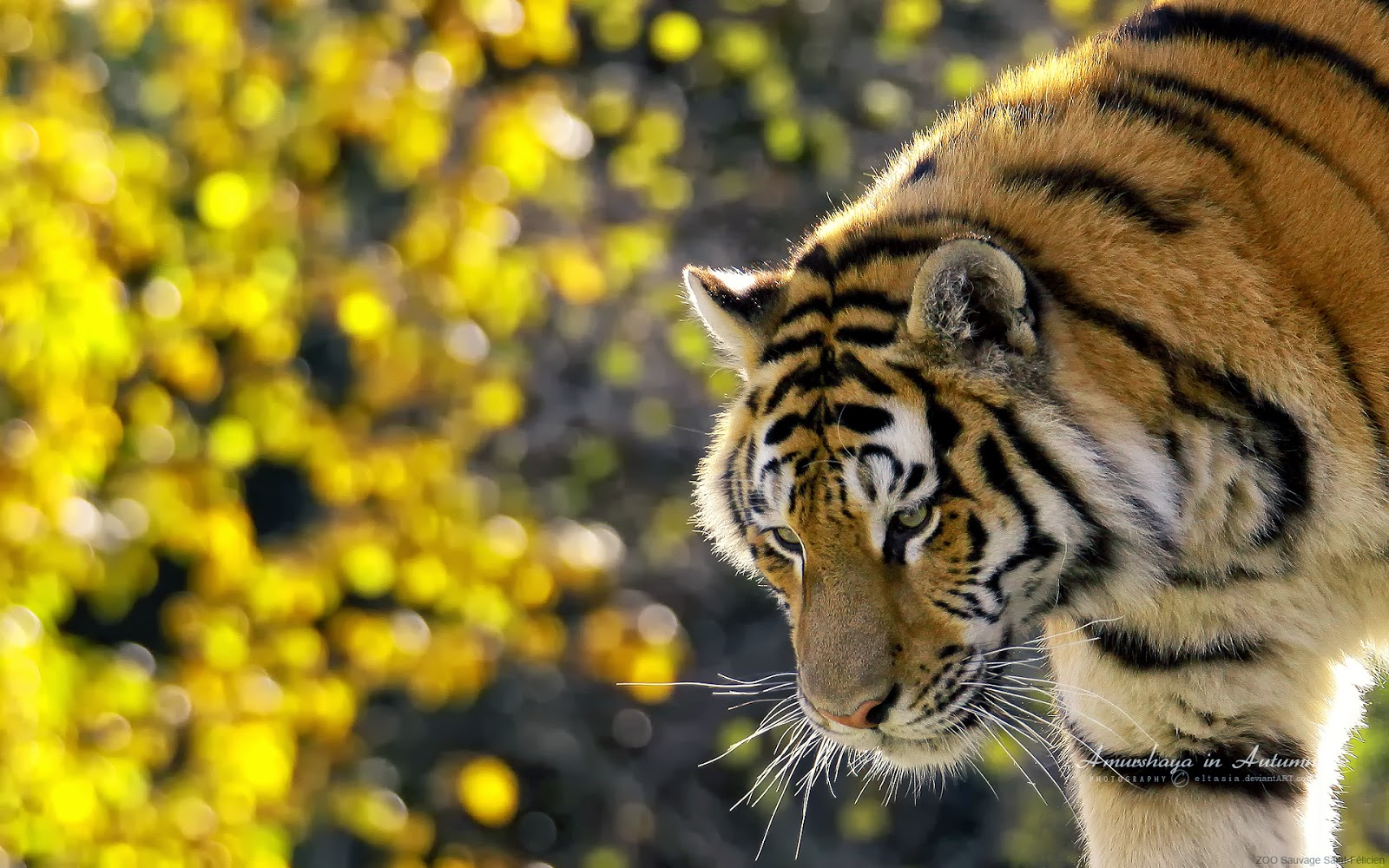 beautiful tiger-wide
