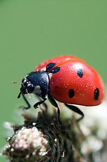 Para ampliar Coccinella septempunctata, coleópteros, Fam. Coccinellidae hacer clic
