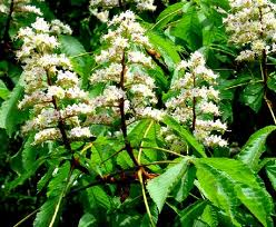 Bach flower remedies for today white chestnut when thoughts go white chestnut when thoughts go round and round mightylinksfo