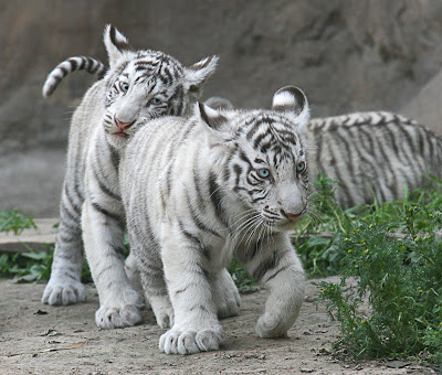 One Pic: Cute White Tiger Cubs Cute Siberian Tiger Cubs