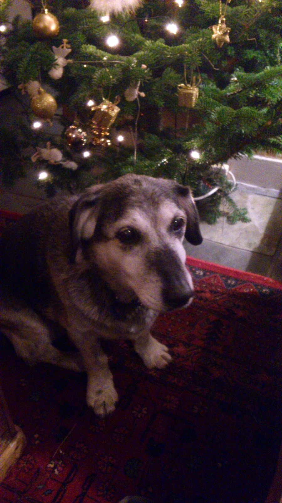 Jemma the dog by the Christmas tree