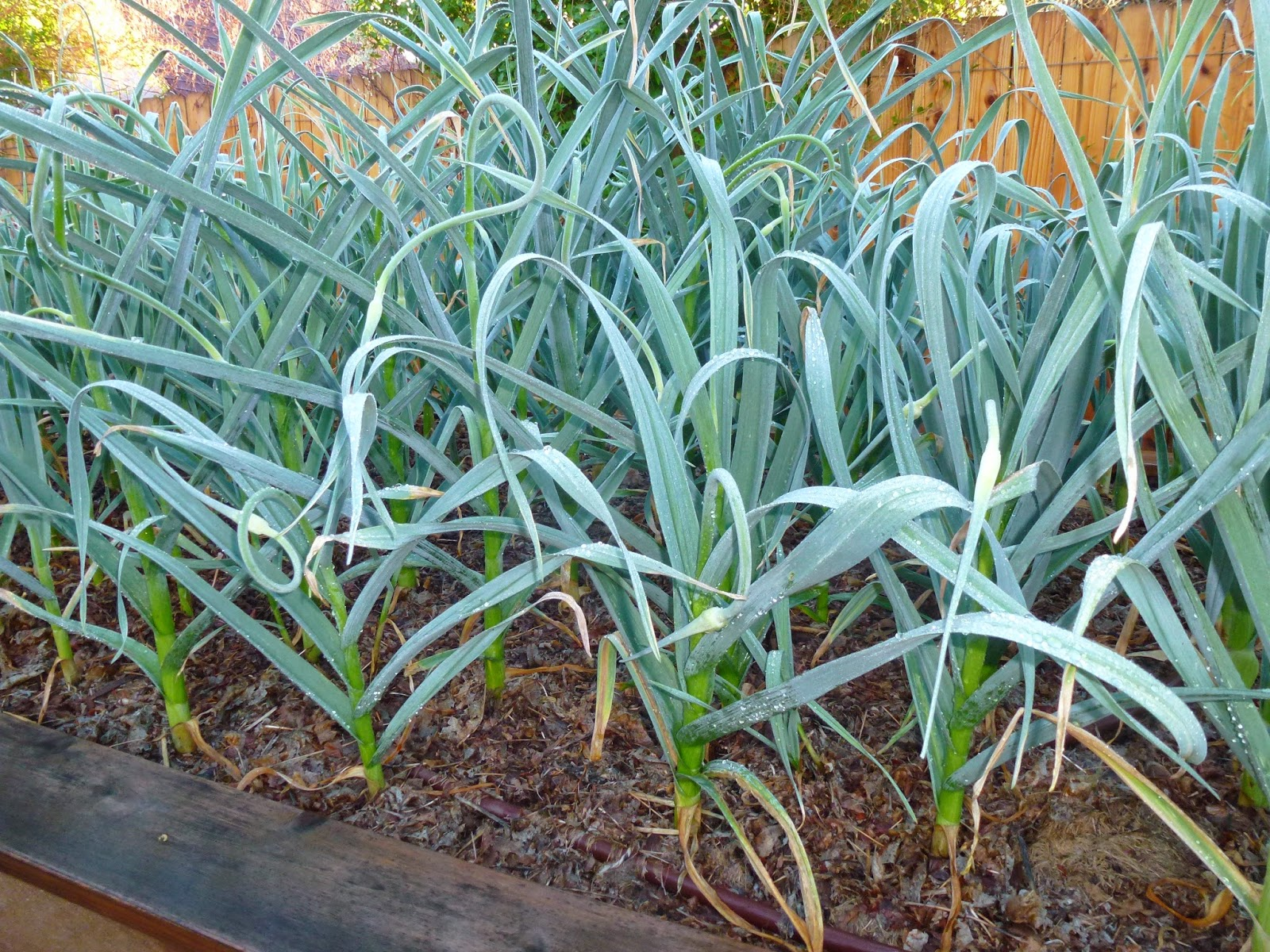 colorado garden punch list garlic growing is grand. Black Bedroom Furniture Sets. Home Design Ideas