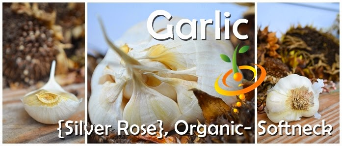 http://www.seedsnow.com/products/garlic-organic-silver-rose