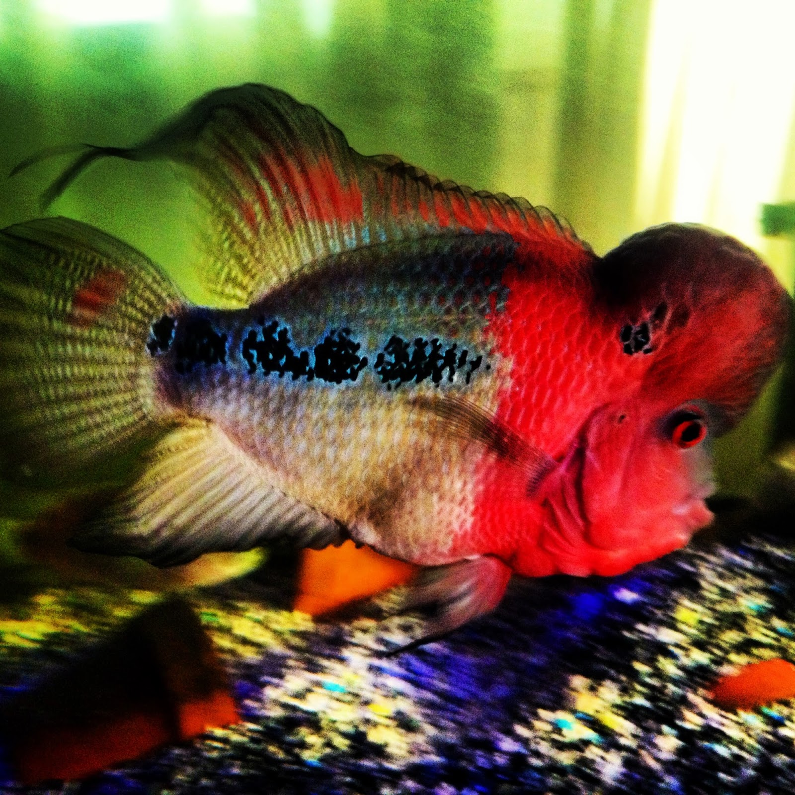 My Pets....: Super Red Dragon Flowerhorn