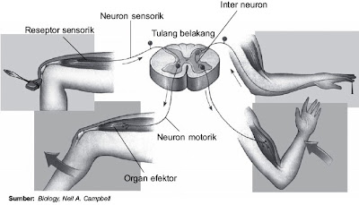Jalur perjalanan gerak refleks pada kaki dan tangan manusia