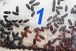 Khasiat dan Manfaat Semut Jepang Untuk Kesehatan Tubuh