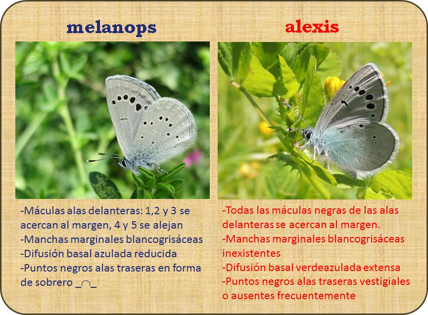 Diferencias glaucopsyche melanops y alexis