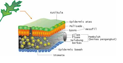 Epidermis pada daun