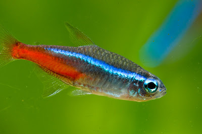 Neon Innesa - ryby akwariowe - zdjęcia 04
