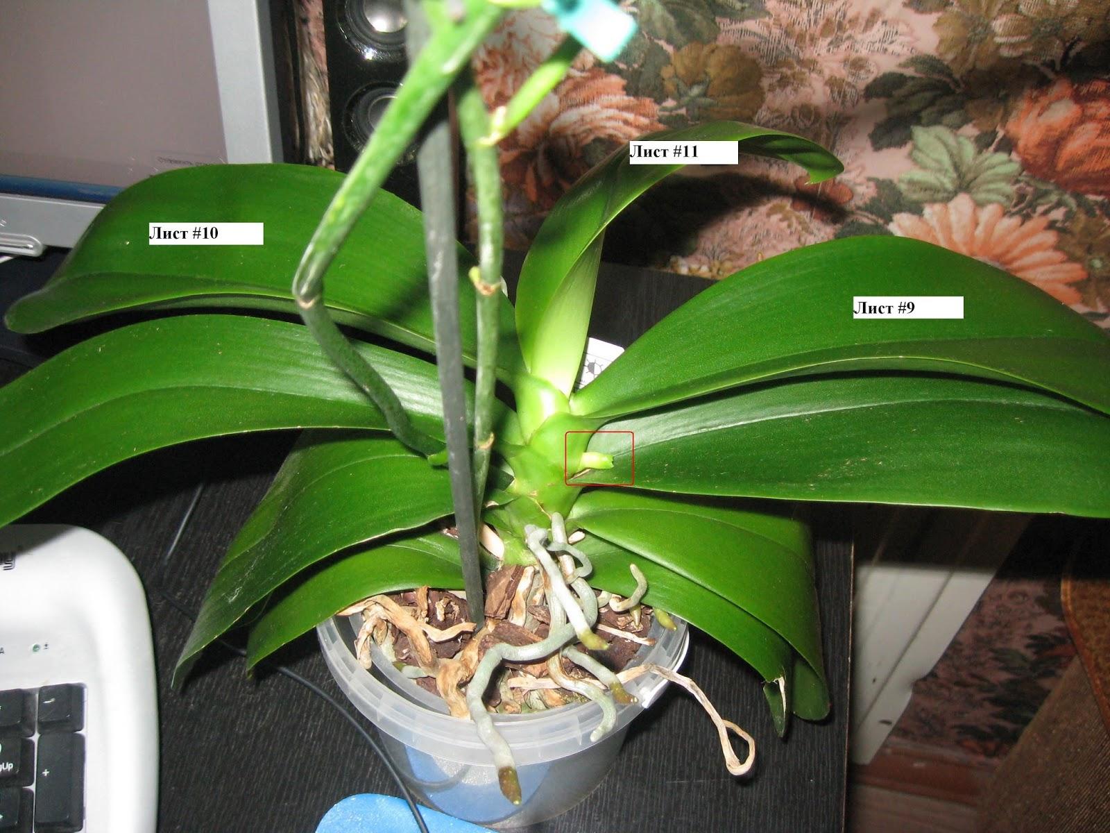 У фаленопсиса растет второй цветонос
