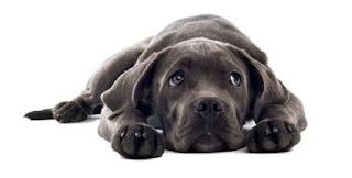 gambar anjing muntah
