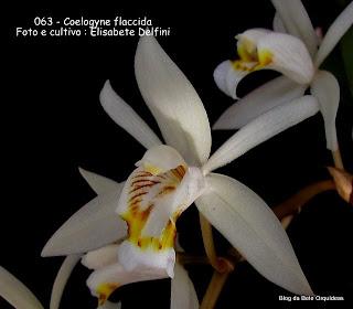 Pleione flaccida, Coelogyne esquirolli