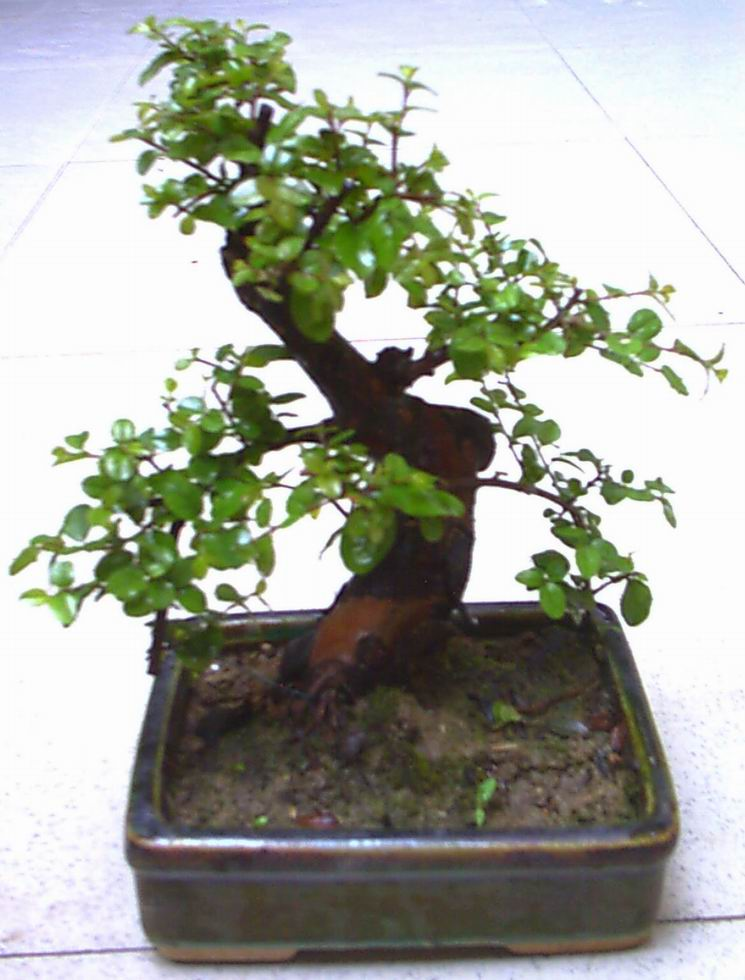 Bonsai tree bonsai tree preface for Different kinds of bonsai trees