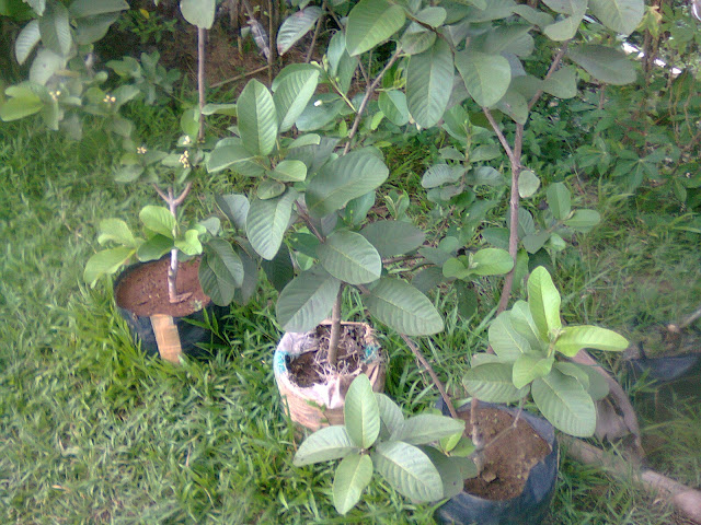 Pohon Jambu Biji Hasil Cangkokan Secara Berderet