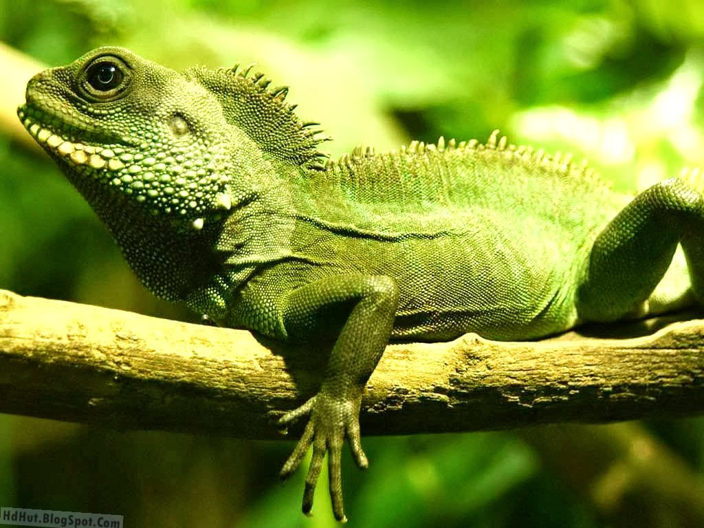 http://hdhut.blogspot.com/2014/02/top-18-most-beautiful-and-unseen-iguana.html