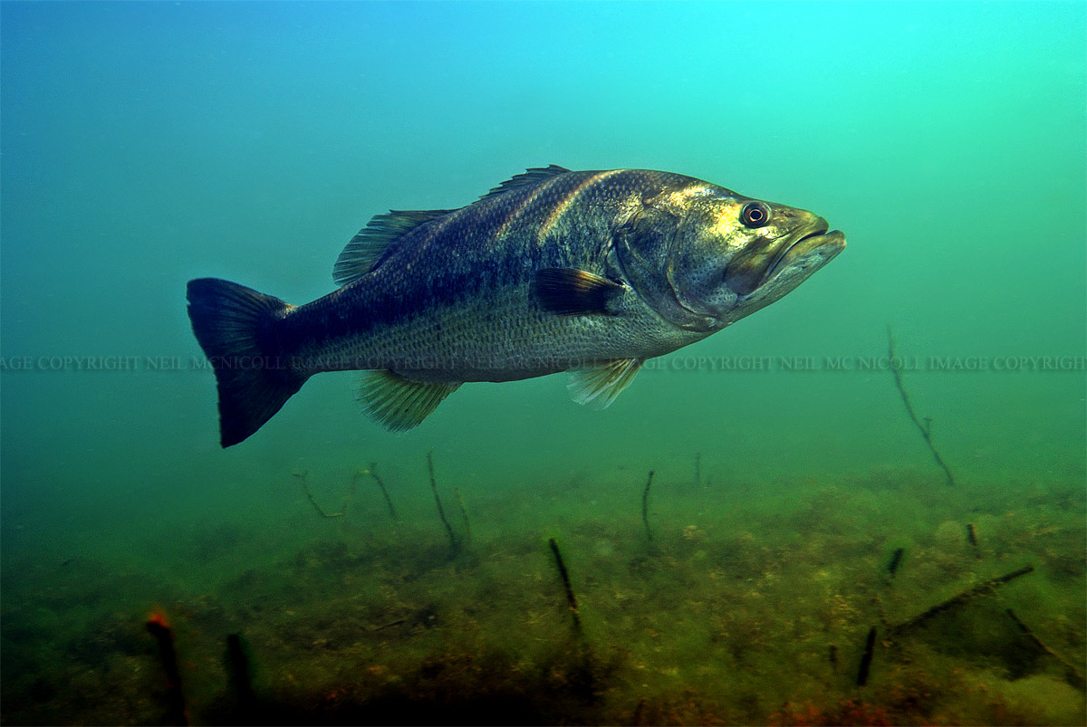Largemouth Bass Underwater Photography