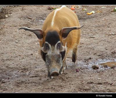 Tierfotos - Schweine - Pinselohrschwein