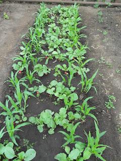 Редиска и кукуруза